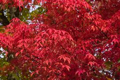 Leaves of Manchurian Maple or Acer mandshuricum in autumn sunlight background, selective focus, shallow DOF.  royalty free stock image