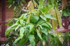 Leaves of mango plant tree. Mangifera indica anacardiaceae from india Royalty Free Stock Image