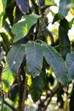 Leaves of mango tree, mangifera indica anacardiaceae from india. Leaves of mango plant tree, mangifera indica anacardiaceae from india stock photography