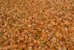 Leaves, so many leaves Stock Image