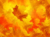 Leaves  maple Royalty Free Stock Images