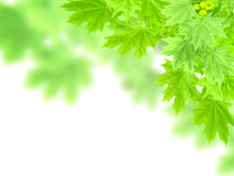 Leaves of a maple Stock Images