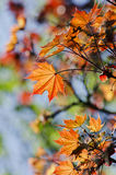 Leaves of the maple Stock Photos