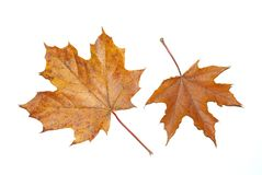 Leaves maple Stock Photography