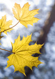 Leaves on maple branches Stock Photography