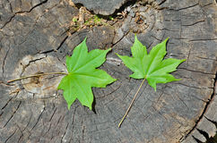 Leaves of maple 2 Royalty Free Stock Images