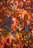 Leaves of maple in the forest. Stock Photo