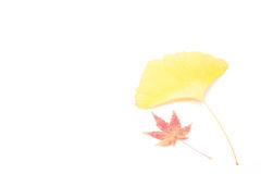 Leaves of maple and ginkgo Stock Images