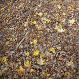 Leaves of maple and other trees on floor of forest Stock Images