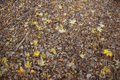 Leaves of maple and other trees on floor of forest Royalty Free Stock Photo