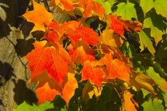 leaves maple red 库存图片
