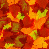 Leaves of maple Royalty Free Stock Images