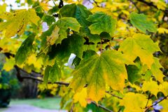 Leaves on maple tree on autumn. Royalty Free Stock Photos