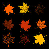 Leaves of maple tree collection Stock Photos