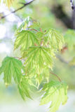Leaves of a maple tree. On a green background Stock Images