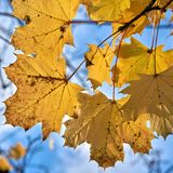 Leaves of a maple tree with yellow autumn coloration. In a forest Stock Photo