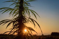 Leaves marijuana in evening. Leaves marijuana plants on a background of sunset sky Royalty Free Stock Photo