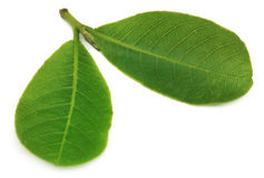 Leaves of Medicinal Terminalia arjuna. Over white background royalty free stock image