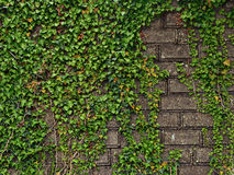 Leaves and medieval wall. Green leaves and medieval wall stock photos