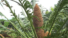 Leaves and the men`s cone of the Cycas hanging Cycas revoluta stock video footage