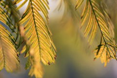 Leaves of Metasequoia trees. Leaves of  metasequoia trees in fall or spring Stock Photo