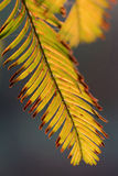Leaves of Metasequoia trees Royalty Free Stock Image