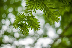 Leaves of Metasequoia trees. In summer Royalty Free Stock Images
