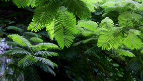 Leaves of the mimosa tree. Moved slowly in the wind stock footage