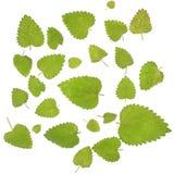 leaves mint arkivfoton