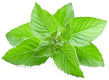 Leaves of mint. Royalty Free Stock Photos