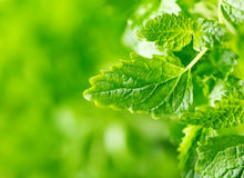 Leaves of mint. On green background Royalty Free Stock Images