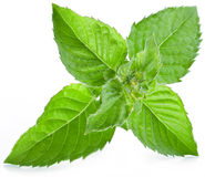 Leaves of mint. Stock Photos