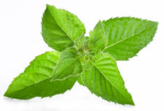 Leaves of mint. Royalty Free Stock Image