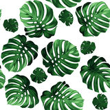 Leaves monstera. Seamless pattern of leaves monstera Stock Photos