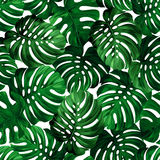 Leaves monstera Royalty Free Stock Photos