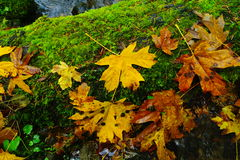 Leaves on a mossy log. Royalty Free Stock Image