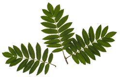 The leaves of mountain ash, red ash, Sorbus aucuparia, the Rowan set of leaves, compound leaves, leaves on a white background. Isolated, Herbology Stock Photos