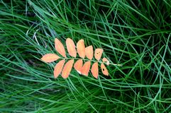 The leaves of mountain ash. Rowan Stock Images