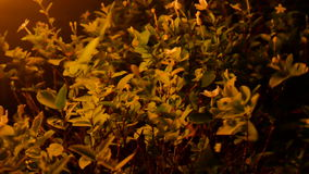 Leaves moving from windy and orange light form lamp,evening time hard windy before rain storm comming.  stock footage