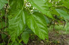 Leaves of the Mulberry Tree royalty free stock image