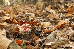 Leaves and mushroom. In autumn forest Stock Image