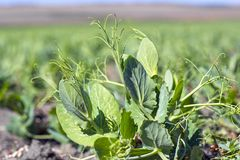 Leaves and mustaches of winter peas on a background of a field.  stock images