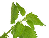 Leaves of nettle Stock Images