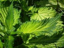 Leaves, Nettle, Green, Scratchy Royalty Free Stock Photos