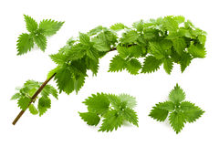 Leaves of nettle isolated Stock Image