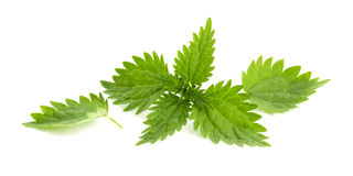 Leaves of nettle isolated. On white background Stock Images
