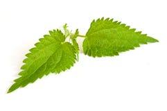 Leaves of nettles Stock Images