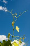 Leaves and new growth of a Grape Royalty Free Stock Images