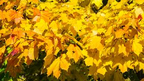 Leaves of Norway Maple, Acer platanoides, in autumn sunlight background, selective focus, shallow DOF. Leaves of Norway Maple or Acer platanoides in autumn stock photos