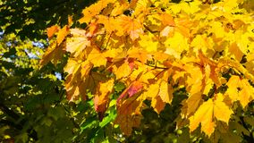 Leaves of Norway Maple, Acer platanoides, in autumn sunlight background, selective focus, shallow DOF. Leaves of Norway Maple or Acer platanoides in autumn stock images